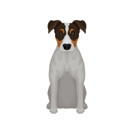 Flat vector icon of sitting jack russell terrier. Puppy with short coat and shiny eyes. Small breed of hunting dog 일러스트
