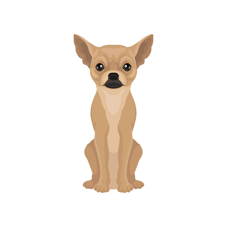 Portrait of cute chihuahua puppy. Small dog with big shiny eyes and smooth brown coat. Flat vector design Illustration