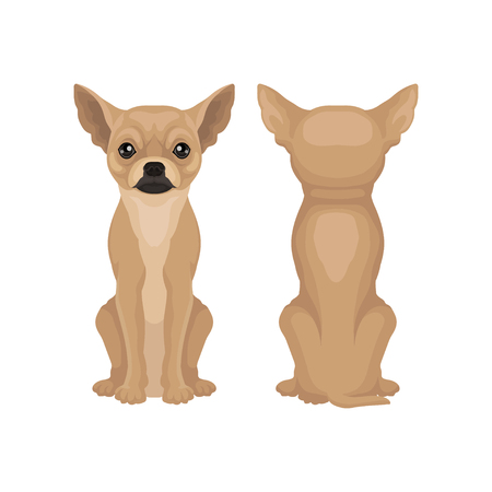 Flat vector design of sitting chihuahua puppy, front and back view. Cute toy dog with big shiny eyes and smooth brown coat