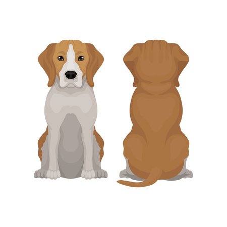 Flat vector illustration of sitting beagle dog. Small puppy with long ears and adorable muzzle. Domestic animal. Front and back view Stock Photo