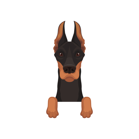 Portrait of dobermann with paws. Dog hanging on border. Home pet with black coat and long pointed ears. Flat vector design Illustration