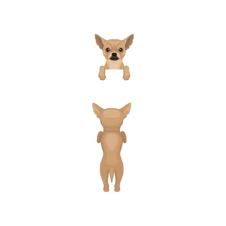 Chihuahua hanging on invisible fence, front and back view. Dog standing on hind paws, muzzle peeking out from border. Flat vector design Illustration