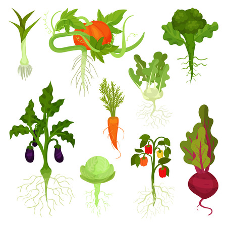 Collection of various vegetables with roots. Healthy nutrition. Natural food. Fresh garden products. Edible plants. Cartoon style icons. Colorful flat vector illustrations isolated on white background Vetores