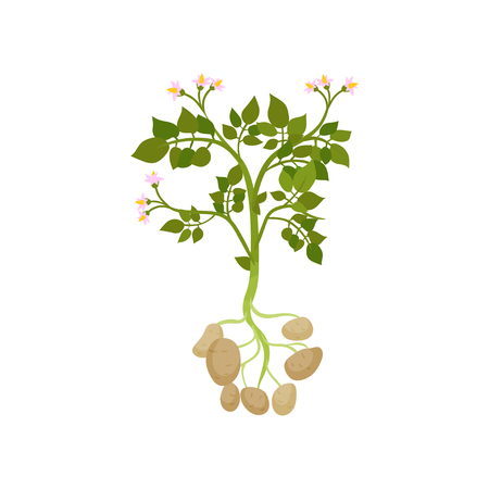 Potato plant with green leaves and small blooming flowers. Raw vegetable. Organic farm product. Colorful graphic element for poster or banner. Flat vector illustration isolated on white background.