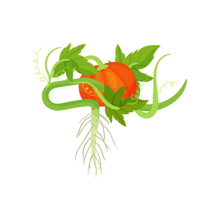 Bright orange pumpkin with green leaves and roots. Organic and healthy food. Cultivated plant. Decorative graphic element for packing of seeds. Colorful flat vector design isolated on white background Vector Illustratie