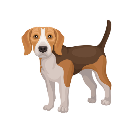 Portrait of standing beagle puppy. Small dog with brown-white coat and long ears. Flat vector for promo poster of animal clinic