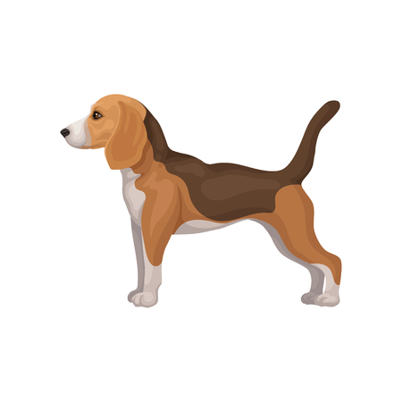 Cute beagle puppy standing in rack, side view. Hunting dog with short coat and long ears. Flat vector for flyer of pet shop