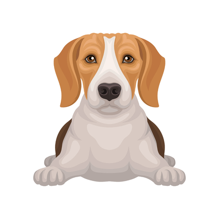 Cute beagle with shiny eyes lying isolated on white background. Small hunting dog with adorable muzzle. Flat vector design Illustration