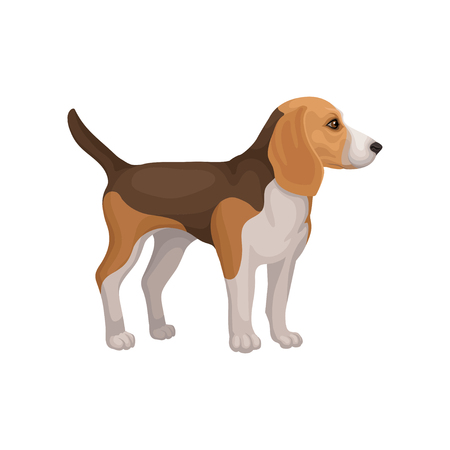 Lovely beagle puppy standing isolated on white background, side view. Home pet. Small dog with brown-white coat. Flat vector icon