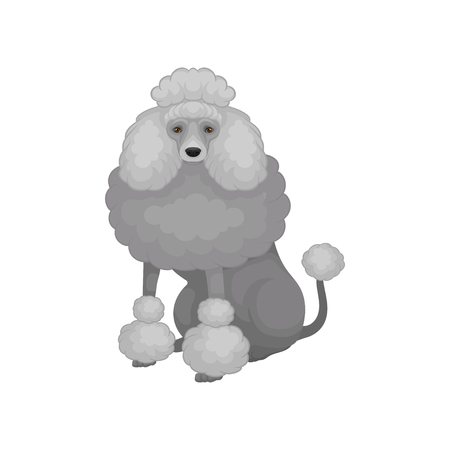 Cute poodle sitting isolated on white background. Dog with gray fluffy hair and shiny eyes. Flat vector illustration
