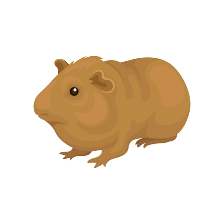 Cute cavy small rodent animal vector Illustration on a white background