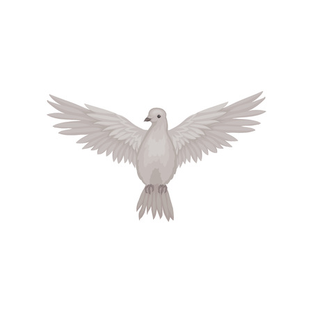 Gray dove in flying action with wide open wings, front view. Fauna theme. Flat vector for poster or ornithology book