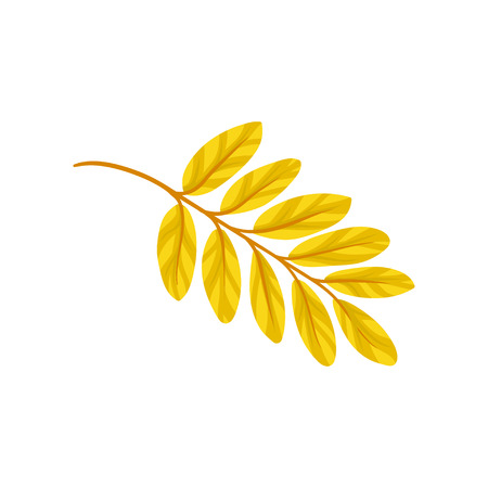 Yellow autumn aronia leaf vector Illustration isolated on a white background.