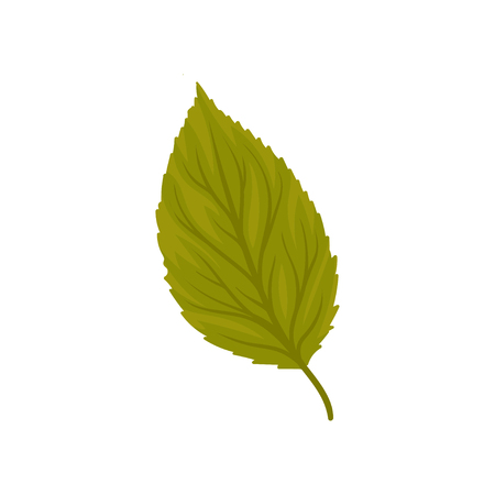 Green beech leaf vector Illustration isolated on a white background.  イラスト・ベクター素材