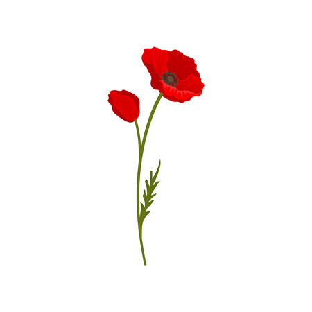 Blooming bright red poppy flowers with stem, floral design element vector Illustration isolated on a white background. 矢量图像