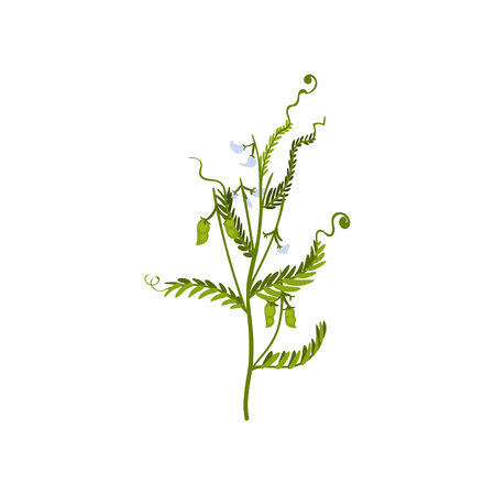 Green bush of sweet peas with small pods and leaves. Natural farm product. Graphic element for poster about cultivation leguminous plant. Vector illustration in flat style isolated on white background