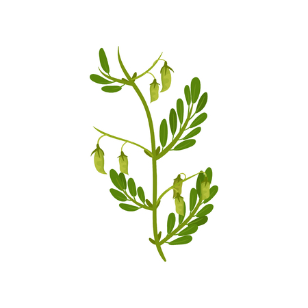 Flowering chickpea plant with green leaves. Leguminous culture. Agricultural crop. Graphic element for book or promo poster. Colorful vector illustration in flat style isolated on white background.