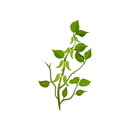 Bush of flowering snow peas with bright green leaves. Leguminous plant. Agricultural crop. Natural product. Farming theme. Colorful vector illustration in flat style isolated on white background.  イラスト・ベクター素材