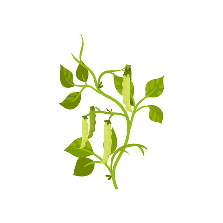 Flat vector icon of haricot bean with green pods and leaves. Leguminous plant. Agricultural crop. Organic product 写真素材