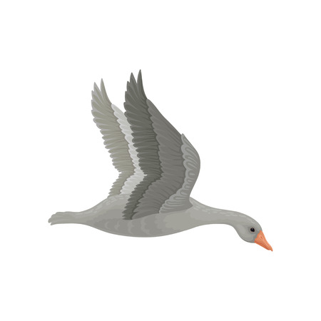 Adult gray goose in flying action with wide open wings, side view. Large wild bird with long neck and orange beak. Fauna theme. Colorful vector illustration in flat style isolated on white background.
