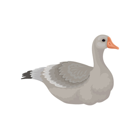 Illustration of large goose lying isolated on white background, side view. Beautiful wild bird with long neck, gray feathers and orange beak. Wildlife and fauna theme. Colorful flat vector design. Иллюстрация