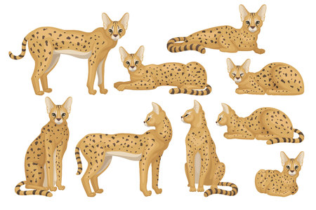 Set of African serval in different poses. Graceful wild cat with large ears and black spots on brown coat. Predatory animal. Wildlife theme. Colorful flat vector design isolated on white background.