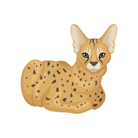 Adult serval lying on floor. Wild cat with spotted body and large ears. Predatory creature. African animal. Wildlife theme. Colorful vector illustration in flat style isolated on white background. Illustration