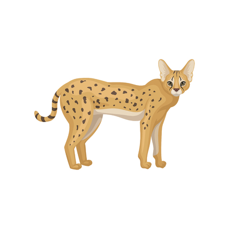 Beautiful serval standing isolated on white background, side view. Wild cat with spotted body. Predatory creature. African animal. Wildlife and fauna theme. Colorful vector illustration in flat style.