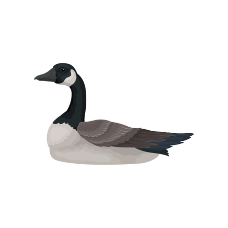 Beautiful goose with long black neck, white cheek and gray body, side view. Wild bird. Wildlife theme. Graphic element for ornithology book. Colorful flat vector design isolated on white background. Illustration
