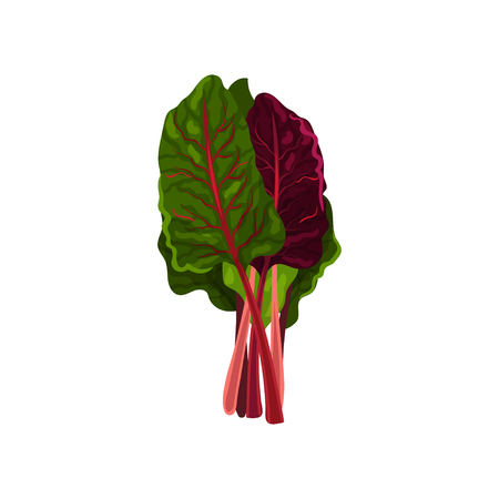 Mangold fresh salad leaves, healthy organic vegetarian food, vector Illustration isolated on a white background.