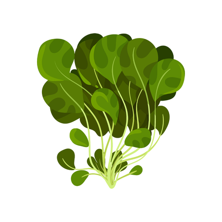 Mache fresh salad leaves, healthy organic vegetarian food, vector Illustration isolated on a white background.