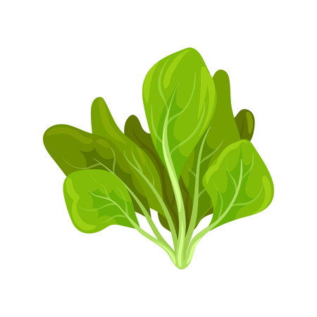 Spinach herb, fresh salad leaves, healthy organic vegetarian food, vector Illustration isolated on a white background. Ilustracja