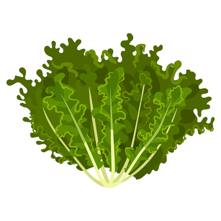 Mizuna fresh salad leaves, healthy organic vegetarian food, vector Illustration isolated on a white background.