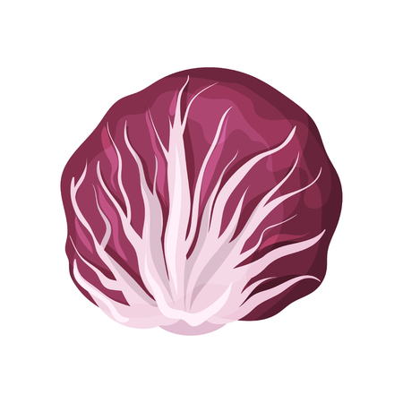 Radicchio fresh salad leaves, healthy organic vegetarian food, vector Illustration isolated on a white background.