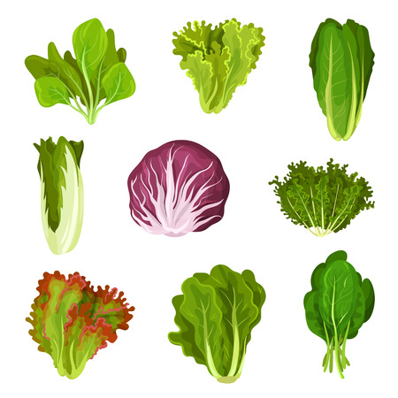 Collection of fresh salad leaves, radicchio, lettuce, romaine, kale, collard, sorrel, spinach, mizuna, healthy organic vegetarian food vector Illustration isolated on a white background.