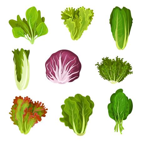 Kolekcja świeżych liści sałaty, radicchio, sałata, rzymska, jarmuż, kapusta, szczaw, szpinak, mizuna, zdrowe organiczne wegetariańskie jedzenie wektor ilustracja na białym tle. Ilustracje wektorowe