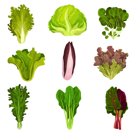 Collection of fresh salad leaves, radicchio, lettuce, spinach, arugula, rucola, mache, watercress, iceberg, collard, healthy organic vegetarian food vector Illustration isolated on a white background