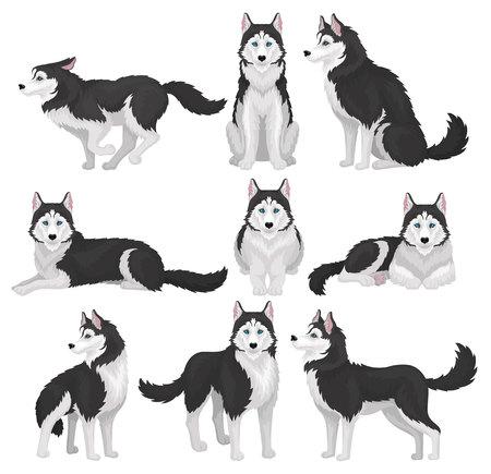 Conjunto de Husky siberiano, animal de perro de pura raza blanco y negro en varias poses vector ilustración sobre un fondo blanco
