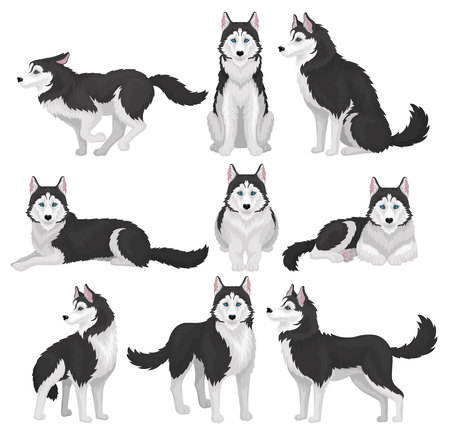 Siberian Husky set, white and black purebred dog animal in various poses vector Illustration on a white background