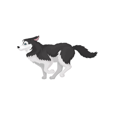 Siberian Husky running, white and black purebred dog animal with blue eyes vector Illustration on a white background Banco de Imagens - 114851557