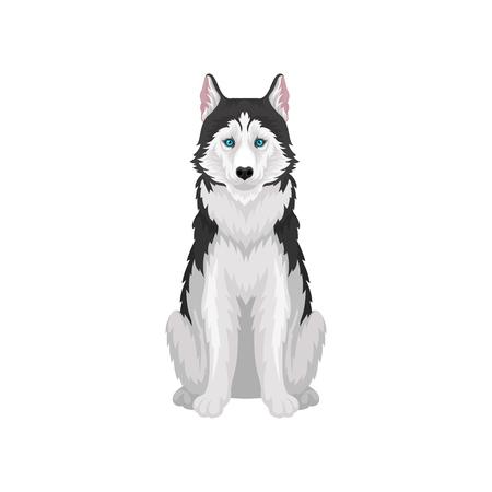 Husky siberiano, animal de perro de pura raza blanco y negro con ojos azules, vector de vista frontal ilustración sobre un fondo blanco