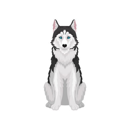 Siberian Husky, white and black purebred dog animal with blue eyes, front view vector Illustration on a white background