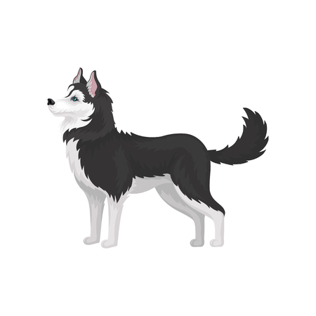 Siberian Husky, white and black purebred dog animal with blue eyes, side view vector Illustration on a white background