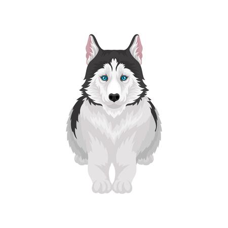 Husky siberiano acostado, animal de perro de pura raza blanco y negro con ojos azules, vector de vista frontal ilustración sobre un fondo blanco