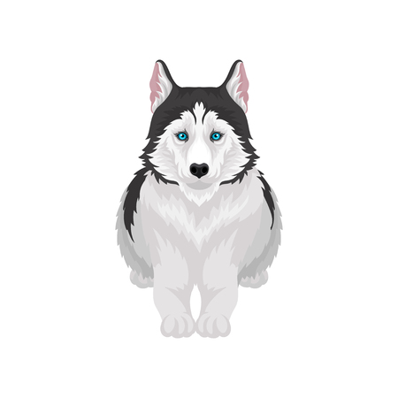 Siberian Husky lying, white and black purebred dog animal with blue eyes, front view vector Illustration on a white background
