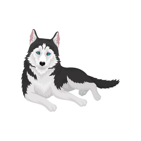 Siberian Husky purebred dog with blue eyes vector Illustration on a white background