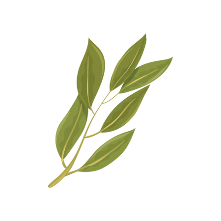 Sprig of green bay leaves. Culinary herb. Spice for dishes. Aromatic seasoning. Graphic element for poster or recipe book. Colorful vector illustration in flat style isolated on white background.