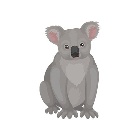 Cute gray koala bear sitting isolated on white background. Australian marsupial animal. Wild creature. Fauna theme. Graphic element for postcard or book. Detailed vector illustration in flat style. Иллюстрация