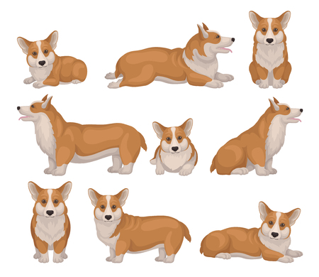 Set of Welsh corgi dog in different poses. Puppy with short legs and red-beige coat. Cute home pet. Domestic animal. Colorful detailed vector illustrations in flat style isolated on white background.