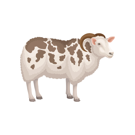 Colorful illustration of jacob sheep, side view. Domestic animal with curved horns, white woolly coat with brown spots. Livestock farming theme. Detailed flat vector icon isolated on white background.
